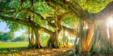 My Banyan Tree and I, It's not a Tea Party